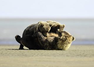 Alaska Brown Bear Sow nursing cubs