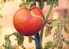 The last tomato (docoverachiever) Tags: garden plant macro tomato processed home green one fruit vegetable red