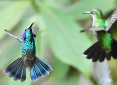 Lesser Violetear v Green-crowned Brilliant - Fisticuffs! (Free_aza_Bird) Tags: heliodoxa jacula heliodoxajacula greencrowned brilliant greencrownedbrilliant colibri cyanotus colibricyanotus lesser violetear lesservioletear la casona lodge lacasonalodge monteverde cloud forest reserve monteverdecloudforestreserve puntarenasprovince puntarenas province costa rica costarica bird birds birders nationalgeographicwildlife featheryfriday wildlifephotography wildlifeoceania