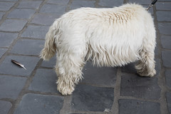 (@AmirsCamera) Tags: budapest hungary dog animal feather white s street walkby olympus omdem1 omd em1 colour color pet different july 2018