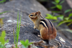 DSC_8551 Chipmunk (Charli 49) Tags: nature naturfotografie wildlife tier säugetier chipmunk ontario kanada nikon d7200
