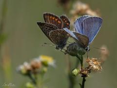 --- (Lothar Malm) Tags: schmetterlinge schmetterling butterfly bläuling paarung