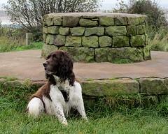 Benjy (billnbenj) Tags: benjy spaniel springerspaniel dog barrow cumbria