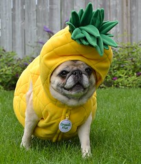 A Drive-by Fruiting! (DaPuglet) Tags: dog dogs pug pugs pineapple pineappleexpress costume pet pets animal animals funny cute halloween seniorpug senior fun silly yard fruit diva deafness hearingloss seniordogs coth coth5