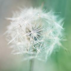 Projet 52 - S33 - D comme... Dandelion (cha'photography) Tags: nature macro dandelion fleur végétal verdure herbe