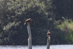 Marsh harrier and osprey #2 (Steve Balcombe) Tags: bird raptor birdofprey osprey pandion haliaetus marsh harrier circus aeruginosus noahs lake shapwickheath avalonmarshes somerset levels uk