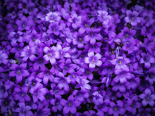 Flowers of Scotland