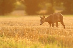 Roe Deer - Brittany (Léo Denoual) Tags: brittany nature roedeer sunlight sunset gold colours light yellow orange