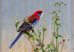 Crimson Rosella (Merrillie) Tags: black nsw blue red rosella crimsonrosella australia parrots bird birds gresford animals fauna parrot newsouthwales animal