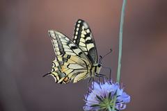Papilio machaon (esta_ahi) Tags: carreradadecanràfols lepidoptera insectos fauna papiliomachaon papilio machaon papilionidae mariposa papallona butterfly avinyonet penedès barcelona spain españa испания