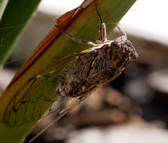 Noisy bug! (Matt C68) Tags: cicada bug insect animal fauna 7dwf portugal albufeira