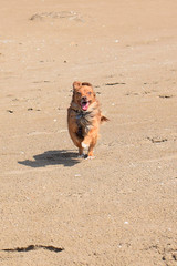 Laika al galope (Hachimaki123) Tags: laika perro animal dog deltadelebre puntadelfangar