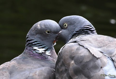 The Pick Of The Crop. (ronalddavey80) Tags: canon eos70d tamron nature pigeons 70300mm wildlife