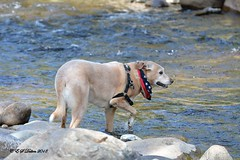 August 31, 2018 - Merlin gets some time in the stream. (Ed Dalton)