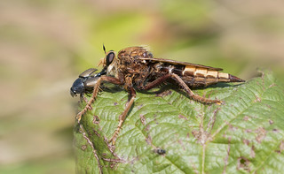 Hornet Robberfly (Asilus crabroniformis).