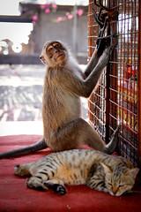 Bali, Temple de Pulaki (Calinore) Tags: indonesia indonésie bali pulaki temple monkey animal cat chat cohabitation