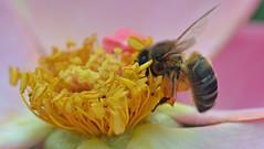 "Honey bee on rosa ""Garvey"" (conall..) Tags: closeup raynox dcr250 macro rosa rose garvey botanic park belfast southbelfast northernireland rosegarden hybridtea"