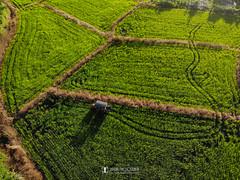 關渡平原空拍 (Yu-Chu Lien) Tags: dji drone aerialphotography 空拍 空拍機 無人機 航拍 mavic mavicair landscape 關渡平原 稻田 田園 paddy field 北投