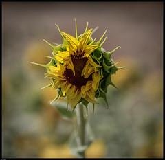 Sunflower (paullangton) Tags: sunflower flower sun yellow green nature petals bud open canon sigma 5dmk3 hertfordshire dof delicate detail wildflower