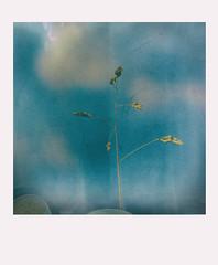 Tel un étendard !!! (Des.Nam) Tags: bleu blue blur pola polaroid desnam nikon nikond7100 105mmf28 herbe ciel cielnuageux minimaliste minimal abstrait carré square nature flore flou texture analogefex