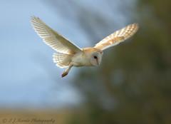 Barn Owl (ian._harris) Tags: august bird barnowl colours d7200 flickr fowlmere life naturaleza natural nature naturephotography nikon owl rspb sigma summer wildlife animals