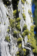 Wolf Lichen (Zach Hawn) Tags: wildlife mountrainier mtrainier nationalpark nps nationalparkservice wilderness outdoors animals hiking pacificnorthwest pnw wander nature naturalist citizenscience research communityscience peakingforpikas trail westernwashington washington wa piercecounty wildlifephotography flora fauna washingtonwildlife westernus