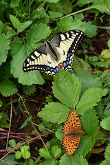 Papilio machaon (Papilionidae) (Vjacheslav Stepanov) Tags: papilionidae insects taxonomy:binomial=papiliomachaon taxonomy:family=papilionidae lepidoptera kalugaregion june 2018