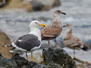 Dominican Gull (Larus Dominicanus)