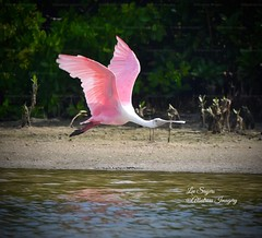 Pretty in pink. (Albatross Imagery) Tags: animalphotography birdphotography likes like follow followme wingspan wings lovewildlife visitflorida digitalphotography naturalbeauty gorgeousanimals beautifulanimals birding floridabirds wildlifeimages images nikonphotographer photographer photo photography beautifulcapture marcoislandwildlife colourful prettyinpink floridawildlife colour pink wadingbirds flickrphotography flickrwildlife flickr instagram wildanimals wildbirds feathers lovely gorgeous beautiful nikkor nikonwildlife nikonphotography nikon wildlifephotographer wildlifephotography wildlife bird birdsinflight birds usa florida marcoislandflorida tigertailbeachmarcoislandflorida spoonbill roseatespoonbill