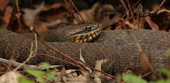 sssnake (don.white55 That's wild...) Tags: northernwatersnakenerodiasipedon donpwhitephotography canoneos70d tamronsp150600mmf563divcusda011 150600mm lens animal reptile snake snakeeye nature wildlife harrisburgpennsylvania dauphincounty lowangle herpetology herp