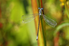 Leste onguiculé / Lyre-tipped Spreadwing (alainmaire71) Tags: insecte insect odonata odonate damselfly demoiselle lestidae leste spreadwing lestesunguiculatus lesteonguiculé lyretippedspreadwing nature quebec canada bokeh