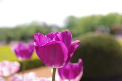 JLF14562 (jlfaurie) Tags: maintenon château castillo palace 22042018 jardin garden tulipes tulipanes tulips mechas gladys amigos friends michel magda sergio primavera printemps pentaxk5ii mpmdf jlfr jlfaurie spring flowers flores fleurs agua eau water canal intérieurs interiores inside