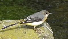 Grey Wagtial (superhoopoes) Tags: highwycombe buckinghamshire greywagtail