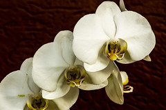 White Orcid (noe.giovanni) Tags: orchidea orchid organic flowers flower flora floral natura nature natural phalenopsisi blossom closeup macro elegance elegant botanic botanical