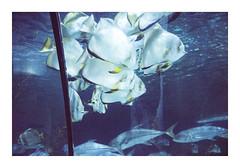 _K001805 (Jordane Prestrot) Tags: ♍ jordaneprestrot tenerife puertodelacruz loroparque aquarium acuario zoo desseincaptif captivedesign poisson fish pescado