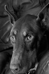DKH_2968 - Version 2 (Dober Man) Tags: canine boyo dobermann doberman pooch mutt pincsher dog afsnikkor24120mmf4gedvr