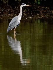Graureiher (norbert.r) Tags: bird heron wildlife nature animal grayheron water animalsinthewild oneanimal vogel graureiher reiher spiegelung flickrchallengegroup