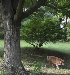 Shizandra & The Maple Tree (Jo Zimny) Tags: ddc textured tree bark sugarmaple shizandra inthebackyard