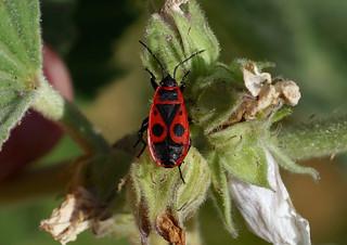 Firebug --- Pyrrhocoris apterus