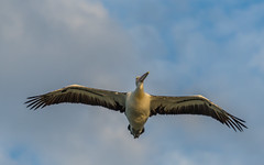Pelican flying past (Merrillie) Tags: wings nature australia birds newsouthwales animal nsw woywoy waterscape wildlife feathers pelecanidae pelican bird flying sky animals fauna centralcoast coastal outdoors
