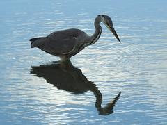 Heron 42 (Magic Moments by Pippa) Tags: british wildlife nature nikon p900 birds waterbirds heron fishing reflection rspb newport wetlands