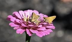 """I was here first"" (Millie Cruz) Tags: skipper skippers zinnia butterflies flower macro bokeh nature outdoors canoneosrebelt6i pink plant ef100mmf28lmacroisusm antennas"