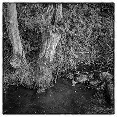 Tree at waterside (K.Pihl) Tags: autumn hc110b overexposedoverdeveloped planar75mmrolleiflex stream blackwhite schwarzweiss film kodaktrix400 rolleiflex35e monochrome pellicolaanalogica water bw tree analog nature