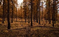 not the ending... (Alvin Harp) Tags: june 2018 oregon us97 sunriver bend burntforest forestfire forest nature sonyilce7rm3 fe2470mmf28gm alvinharp
