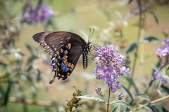 140A0488 (Ricky Floyd) Tags: butterfly canon