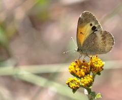 Nathalis iole Boisduval, 1836 (carlos mancilla) Tags: insectos mariposas butterflies nathalisioleboisduval1836 nathalisiole mariposanatalia daintysulphur pieridae coliadinae canoneos700d canoneosrebelt5i ef100mmf28macrousm