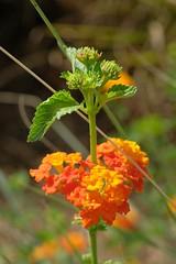 Budding Lantana (Gene Ellison) Tags: plant flower lantana yellow orange red bud garden naturephotography