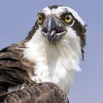 Osprey bird - Jamestown Ferry docks -  Williamsburg Va thumbnail