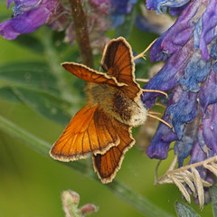 2018_07_0381 (petermit2) Tags: smallskipperbutterfly smallskipper butterfly northcavewetlands northcave brough eastyorkshire eastridingofyorkshire yorkshire yorkshirewildlifetrust ywt wildlifetrust wildlifetrusts