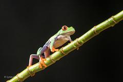 Red-eyed tree frog D50_8137.jpg (Mobile Lynn) Tags: amphibian frog nature redeyetreefrog captive agalychniscallidryas fauna wildlife bournemouth england unitedkingdom gb coth specanimal coth5 ngc captivelight